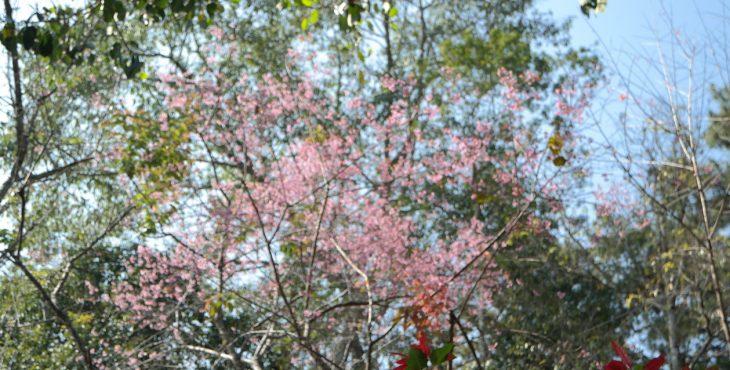 Sakura Blossom, Chiang Mai.    2019    פריחת הסאקורה ציאנג מאי